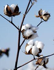 Ekologisk bomullsodling
